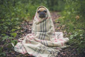 geschützt - Hund in Decke